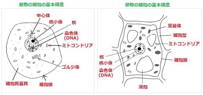 細胞の構造 - YAKUSAJI NET